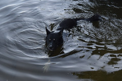 Fili (mikros.anthropos) Tags: fili dog hund crossbreed mix mutt mischling tier animal husky australianshepherd bordercollie hollandseherder nikond3300 outdoor water wasser swimming schwimmen