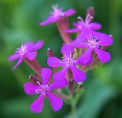 tiny blossoms - soft and gentle (GüF) Tags: blossom blüte balkonblume balkony lumixgx80 makro macro nahlinse postfocusstack