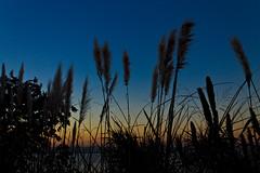 Cortaderia selloana (Wal Wsg) Tags: cortaderiaselloana hierbadelaspampas plumero plumerillo naturaleza nature atardecer atardece tarde ocaso sunset cielo sky canoneosrebelt3