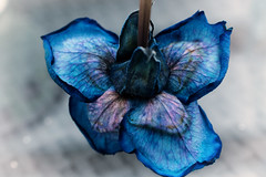 Bottoms Up (Helena Johansson 71) Tags: bottomsup bottomup macromondays flower rose blue nature macro nikond5500 nikon d5500