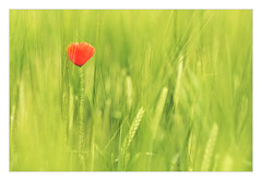 Red Head (Dave Fieldhouse Photography) Tags: poppy field barley crop agriculture lichfield lichfielddistrict staffordshire staffordshirelife fuji fujixpro2