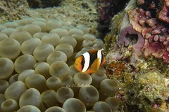 A clown fish. I took that pic near Juraid island in Aljubail city Underwater Clown Fish UnderSea Sea Life Fish Sea Animal Themes Animals In The Wild Animal Wildlife Coral One Animal Sea Anemone Symbiotic Relationship No People Nature Water Swimming Beauty (abdullah-alrassi) Tags: underwater clownfish undersea sealife fish sea animalthemes animalsinthewild animalwildlife coral oneanimal seaanemone symbioticrelationship nopeople nature water swimming beautyinnature closeup outdoors animal people besteyeemshot city life