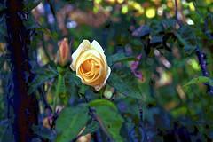 Yellow Rose! (maginoz1) Tags: abstract art contemporary manipulate curves roses flowers white yello bullarosegardenalisterclark melbourne victoria australia july 2017 canon 100d