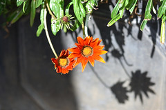Orange Flowers (Bri_J) Tags: tropicalbutterflyhouse northanston southyorkshire uk butterflyhouse yorkshire nikon d7200