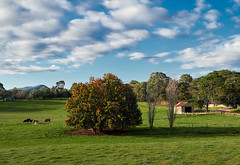 From this arvo's bike ride through Nutfield. (gazrad) Tags: agriculture animal bluesky bovine cattle cloud cloudy colour country cow farm fertile field green horizontal nobody outdoors outside paddock pasture rural victoria nutfield