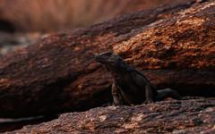 Chuckwalla (Sauromalus ater) (phl_with_a_camera1) Tags: arizona nature desert chuckwalla sauromalus ater lizard iguana reptile herping herp closeup detail