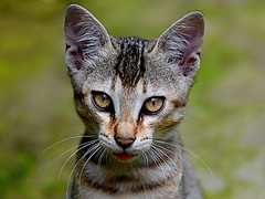 All Ears (kiki nagi) Tags: cats feline kitten pets animals