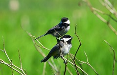 (careth@2012) Tags: nature chickadee wildlife beak feathers britishcolumbia