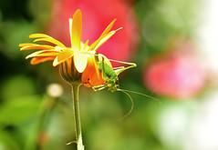 Grashopper (inge_rd) Tags: plumpschrecke heuschrecke isophyakraussi flip grashopperr