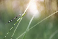 Damselfly from odonata family (Evren Unal Photography) Tags: carlzeiss zeiss touit2850m 50mm 50m macro closeup bokeh color colors fujifilm nature artnature photography turkey spring sun sunset sunlight alone art bugs bug insect insects summer dof deep depth field ngc animal outdoor plant blossom flower grass natureart minimal minimalism minimalist minimalmacro minimalnature minimalart mini red smallbug landscape white background xt2 fujifilmxt2 7dwf
