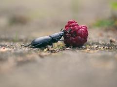 2017-07-14_19-04-08 - Himbeer Dieb (torstenbehrens) Tags: eben himbeer dieb tarbek schleswigholstein deutschland olympus penf sigma 60mm f28 dn digital camera hof macro