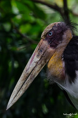 Lesser Adjutant Stork (mathewindelhi) Tags: bird birds birdphoto stork bali indonesia nature