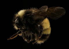 Bombus terricola, m, left side, Centre Co., PA_2017-06-16-15.29 (Sam Droege) Tags: zerenestacker stackshot geologicalsurvey unitedstatesgeologicalsurvey departmentoftheinterior droege biml beeinventoryandmonitoringlaboratory bug bugs canon closeup macro insect patuxentwildliferesearchcenter pwrc usgs dofstacking stacking canonmpe65 taxonomy:binomial=bombusterricola animals animal bee bees apoidea hymenoptera pollinator nativebee entomology centrecounty pennsylvania rare declining bumblebee bombus