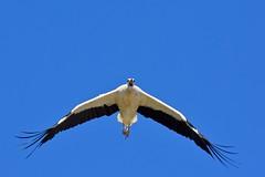 DSC_7002 (franckp64) Tags: ali volare involo fagagna oasideiquadris cicognabianca whitestork ciconiaciconia stork volatili uccelli bird avifauna