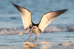 Black Skimmer Take-off (Mark Schwall) Tags: rynchopsniger blackskimmer newjersey nj nikon nikkor200500mmafsvr d500 flight birdinflight bird markschwallphotographycom
