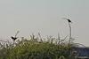 Linotte mélodieuse. (jipebiker) Tags: hâbledault somme picardie france réserveornithologique nature animal bird oiseau linottemélodieuse commonlinnet