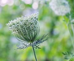 Queen Anne's Lace seed-head (zinnia2012) Tags: wildflower queenanneslace seedhead bokeh zinnia2012 carottesauvage stalk tige