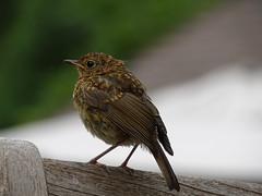 Robin fledgling at Harlow Carr (Kniphofia) Tags: robin fledgling rhsharlowcarr