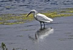 Reflection J78A0610 (M0JRA) Tags: birds parks gardens rspb lakes ponds fields trees nature snakes adda