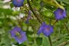 Blue Flowers (Bri_J) Tags: tropicalbutterflyhouse northanston southyorkshire uk butterflyhouse nikon d7200 yorkshire blue flowers