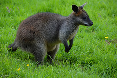 Swamp Wallaby (Wallabia bicolor) (Seventh Heaven Photography) Tags: swamp wallaby wallabia bicolor wallabiabicolor marsupial nikond3200 black fern blacktailed pademalon stinker animal mammal macropodidae