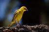 Weaver bird (stevehimages) Tags: steve stevehimages steveh higgins wowzers warden wildlife bird grandpas den 2017 animal nature feathers feathered friend west midlands