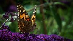 Distelfalter (janschu74) Tags: schmetterling blur contrast macro butterfly insect vanessacardui backyardsafari distelfalter