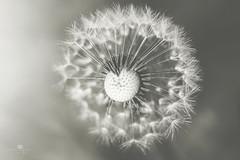 poof (rockinmonique) Tags: dandelion macro light bokeh mono monochrome blackandwhite bw hmbt moniquew canon canont6s tamron copyright2017moniquew