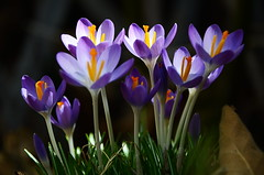 Crocus (Theo Crazzolara) Tags: crocus krokus spring frühling nature natur plant flower blossom lila violet violett pink color colour crocuses croci crocoideae iridaceae asparagales macro closeup