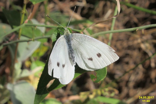 cf. Small white (MakGi)