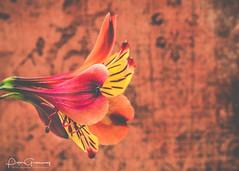 Lily In Macro (Peter Greenway) Tags: petergreenway macroflowers wpg lily macro flickr tigerlily