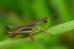 Criquet (Phil du Valois) Tags: criquet insecte bug forêt retz orthoptère grasshopper