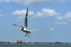 Landing (Zahid - Super Slow net. But will be back soon) Tags: animal bird outdoor sea gull water ocean flying motion action wings eyes beaks spot beautiful blue sky skyline seagull lovely sharp focus cloud day wheels legs city brilliant adorable summer hot bright spots legends stream depthoffield explore air seabird usa corpuschristi intheair birdslanding freedom travel wildlife flight lake nopersons nature
