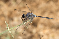 Long Skimmer (Orthetrum trinacria) ♂ with prey. (od0man) Tags: longskimmer orthetrumtrinacria libellulidae orthetrum odonata anisoptera insect dragonfly feeding macro embalsedelguadalmina benahavís andalucía spain