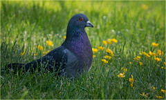 pigeon green grass yellow flowers pretty red eye