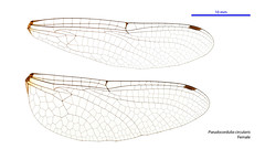 Pseudocordulia circularis female wings