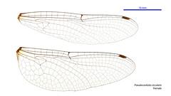 Pseudocordulia circularis female wings