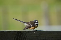 Fantail (bevanwalker) Tags: insects farm silage feeding tiny beautiful dainty quick bird