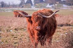 moo (Tony_Brasier) Tags: nikon cows cattle harty flickr farm fields faversham ferry kent d5100 dogs eat grass green golden garden england sea sky stones