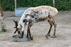 reindeer Wingham Wildlife Park 150517 (Dan86401) Tags: reindeer rangifertarandus animal mammal nature capreolinae winghamwildlifepark kent