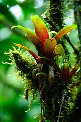Kaieteur National Park, Potaro-Siparuni, Guyana, South America (Dumbledore Calrissian) Tags: kaieteurfalls guyana southamerica amazonrainforest amazonbasin waterfall tallestwaterfall gianttankbromeliad coralsnake orchids cockoftherock bromeliads potaroriver