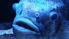 20170607_131829 (Darren C-loh) Tags: fish slowpoke pokemon aquarium osaka japan dazed expression water blue shocked surprised meme holiday vacation tourist travels