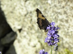 "butterfly on lavender • <a style=""font-size:0.8em;"" href=""http://www.flickr.com/photos/65188900@N05/34481723153/"" target=""_blank"">View on Flickr</a>"