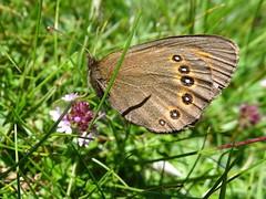 Erebia Oeme Port de l'hers 2017 06 18i (Froggy Birder) Tags: portdelhers papillon rhopalocères butterfly erebiaoeme ariège