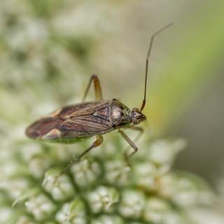 Closterotomus trivialis