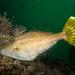 Yellow-finned leatherjacket - Meuschenia trachylepis