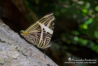 Borboleta - Colobura dirce  (Nymphalidae)