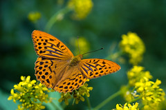 **** (zsolt75) Tags: canon100d 50mm 18 stm hungary canon nature butterfly june green yellow macro makro flower insect