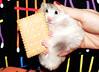 """My dear Cookie..."" ~ Bulinka (pyza*) Tags: bu bulinka bubu hamster hammie chomik animal pet rodent critter furry fluffy gir cookie biscuit monster xxx"