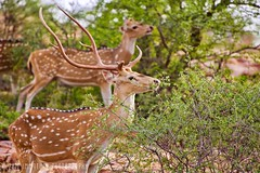 Deer, Ranthambhore National Park (Immature Photography LLP) Tags: jungle forest animal wildlife park national ranthambhore deer